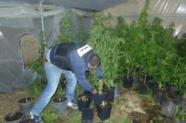 ضبط مشتل كبير للمخدرات بقلقيلة