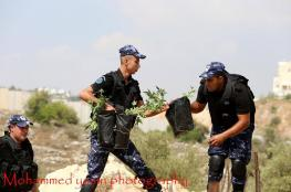 بالصور : ضبط 133 شتلة مخدرات غرب رام الله