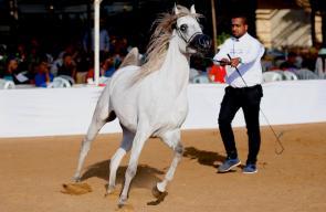 مسابقة فلسطين لجمال الخيل العربي الاصيل العاشرة في أريحا