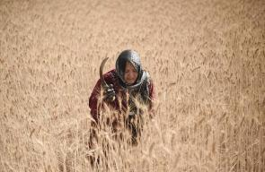 حصاد القمح في بلدة خزاعة جنوب قطاع غزة