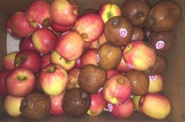 ضبط طن ونصف تفاح غير صالح للاستهلاك الادمي في طولكرم