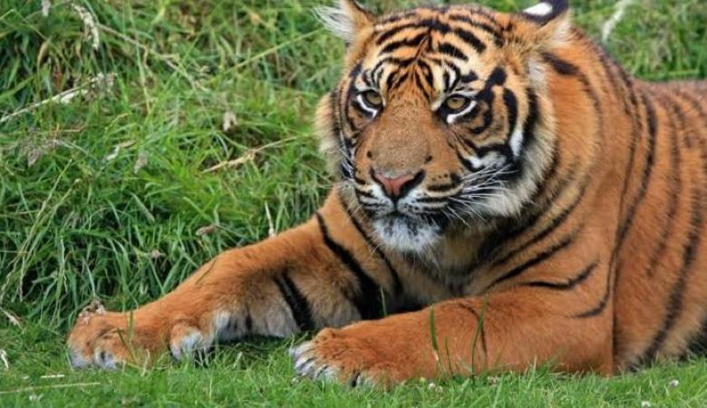 مروع.. نمر يخطف طفلًا من أمام منزله ويأكله أعلى التل