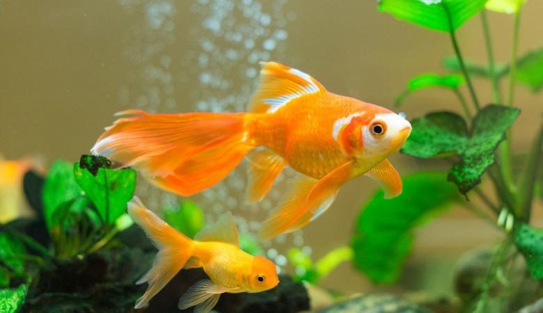 اكتشاف مثير يخص السمكة الذهبية