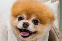 الحزن الشديد يقتل أجمل كلب في العالم