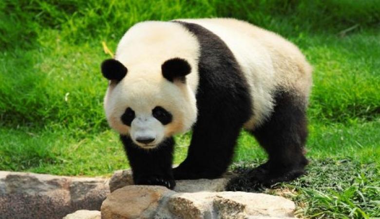 باندا تلد أثقل توأمين في الصين