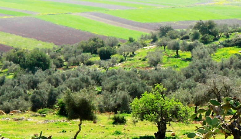 15 الف شيقل غرامة بحق كل من يقتلع شجرة زيتون في رام الله