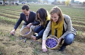 جانب من حصاد موسم الزعفران في تركيا