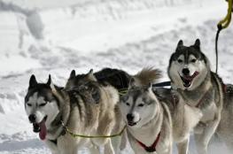 تدريب الكلاب على الكشف عن الإصابة بفيروس كورونا في بريطانيا