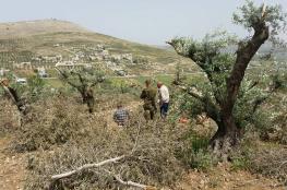 مستوطنون يقطعون 100 شجرة زيتون في بورين جنوب نابلس