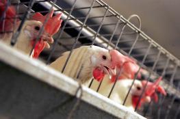 سعر غير مسبوق للدجاج في رمضان
