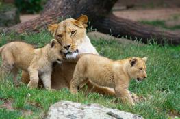 نفوق 4 أشبال في حديقة حيوانات فلسطينية بسبب البرد الشديد