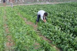 أضرار فادحة للمزارعين في قلقيلية بسبب المنخفض الجوي