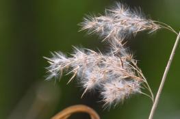 تحذير من انتشار نبتة الأمبروسيا في جنين