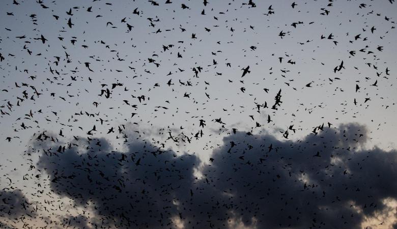 """""""كورونا """"..آلاف الغربان تحلق  فوق ووهان الصينية """"فيديو """""""