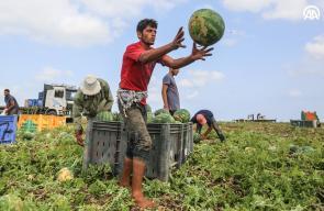 زراعة البطيخ في غزة