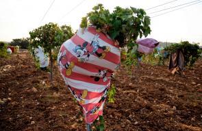 مزارعون فلسطينيون يغطون اشجار العنب بقطع قماش لحمايتها من الموجة الحارة