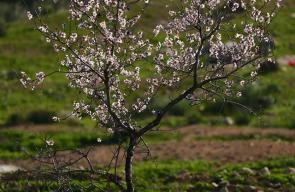 ازهار اللوز تتفح في رام الله مع اقتراب فصل الربيع