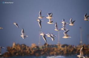 طيور النورس على ضفاف بحر غزة