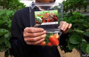 جانب من موسم قطف ثمار الفراولة في خانيونس جنوب قطاع غزة