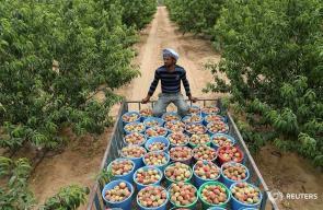 موسم جني البطيخ والخوخ في غزة