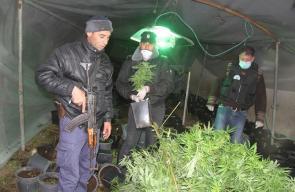شرطة الخليل تضبط 3500 شتلة