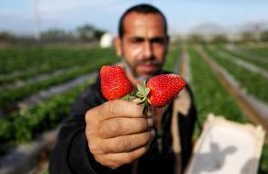جانب من موسم جني ثمار الفراولة في غزة