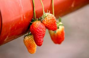 أول زراعة ناحجة للفراولة في محافظة سلفيت وبالطريقة المعلقة