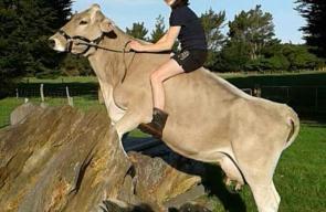 فتاة  نيوزلندية تحول بقرة الى حصان أصيل