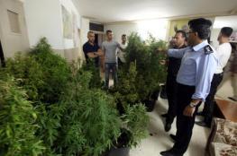 """قلقيلية : الشرطة تضبط """" 168 """" شتلة ماريجوانا في أحد منازل المواطنين"""