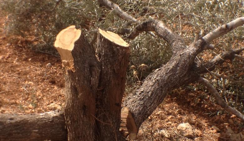 المستوطنون يقطعون اشجارا حرجية ولوزية شرق الخليل