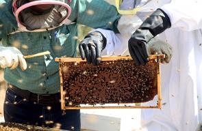 نحالون يبدأون جني موسم العسل في حلحول