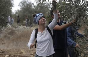 متضامنون اجانب يساعدون المواطنين في قطف الزيتون قرب مستوطنة دوتان بجنين