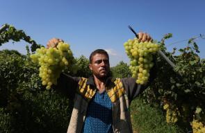جانب من موسم العنب في قطاع غزة