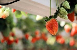 موسم جني محصول الفراولة في غزة