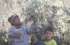 موسم قطف ثمار الزيتون في فلسطين