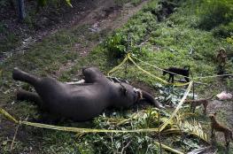 السلطات الهندية تقتل فيلا أودى بحياة 15 شخصا