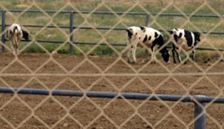 الأغوار: مستوطنون يبنون حظائر جديدة للأبقار على اراضي محتلة