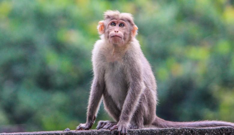 كورونا ..دراسة على القرود تعطي بصيص امل كبير للبشر