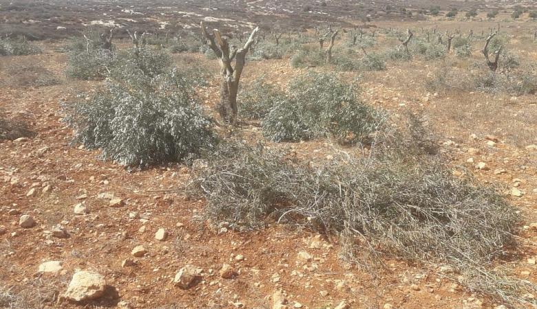قوات الاحتلال تقطع 200 شجرة زيتنون جنوب نابلس