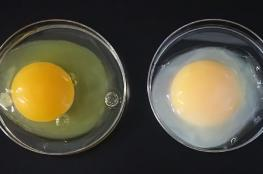كوكب اليابان ...بيض ذهبي يعالج امراض السرطان والتهاب الكبد