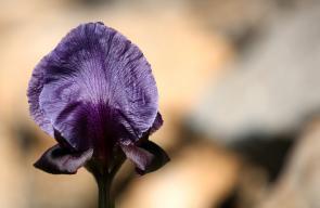 أزهار سوسنة فقوعة، من الفصيلية السوسنية وتنمو في جبال فقوعة في الجزء الشمالي الشرقي من مدينة جنين