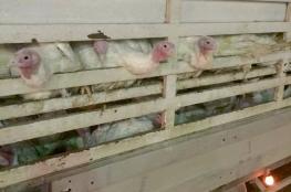 جنين: ضبط كمية من طيور الحبش المهرّبة من إسرائيل