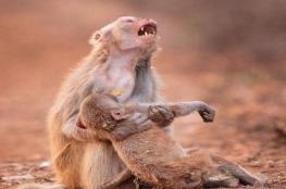 الصورة المؤثرة لقردة تحمل جثة صغيرها وتبكي
