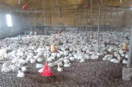 الضابطة الجمركية تضبط 3000 دجاجة مهربة في الخليل