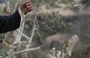 المستوطنون يعتدون على أشجار الزيتون في قرية مادما بمحافظة نابلس