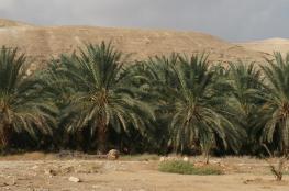 زرع 300 شتلة من نخيل أريحا في غزة