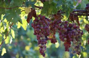 جانب من موسم العنب في الخليل