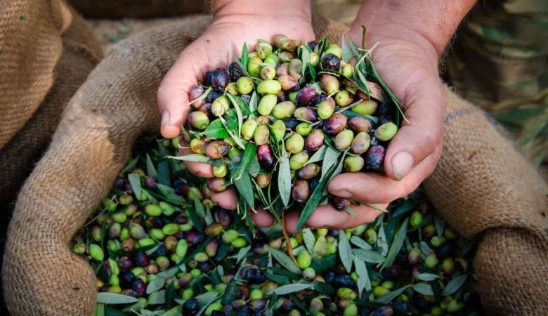 فلسطين :موسم الزيتون هذا العام سيكون الاسوء منذ 10 سنوات