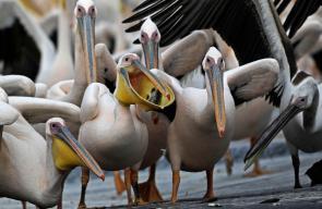 طيور البجع تحط بالقرب من مدينة يافا الفلسطينية خلال هجرتها من أوروبا والشمال في طريقها إلى إفريقيا لقضاء فصل الشتاء