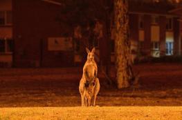 حرائق استراليا تقضي على 480 مليون من الحياة البرية النادرة